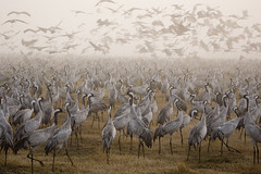 Crowd of cranes