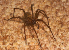 "Spider (Tegenaria gigantea)(4) • <a style=""font-size:0.8em;"" href=""http://www.flickr.com/photos/57024565@N00/390087873/"" target=""_blank"">View on Flickr</a>"