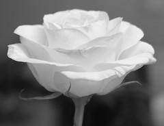 Happy Valentines :-) (freebird4) Tags: uk home rose blackwhite shropshire dynamic dramatic nikond50 valentinesday evocative naturesfinest apacheblessing scintillating abigfave freebird4 impressedbeauty