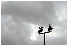 Despegue (Curtiz) Tags: seagulls gaviotas curtiz