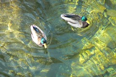 Ducks at The Rise (Aqua Daisy) Tags: water river ducks canyon wyoming rise sinks pdpnw excellentphotographerawards
