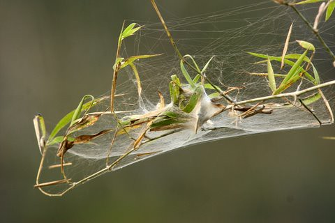 Spider Web on Bamboo Shoots, Dandeli