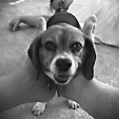 Maggie, Feet and Me (Jane Waterbury) Tags: cameraphone blackandwhite bw dog feet beagle me treo650 maggie janewaterbury 12inchpowerbookg4
