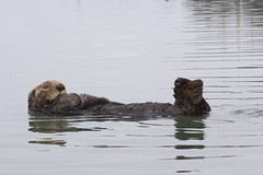 sea-otter-morro-bay_12