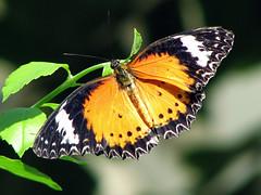 Malaysian Lacewing (JenniferNelms) Tags: orange green butterfly georgia interestingness jen bokeh 5 soe callawaygardens naturesfinest interestingness5 supershot i500 malaysianlacewing cethosiahypsea mywinners abigfave anawesomeshot colorphotoaward impressedbeauty specinsect jenatl