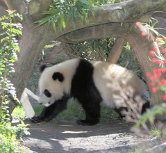 Su Lin sighting (kjdrill) Tags: china california bear usa giant zoo cub panda sandiego pandas endangeredspecies sdzoo sulin