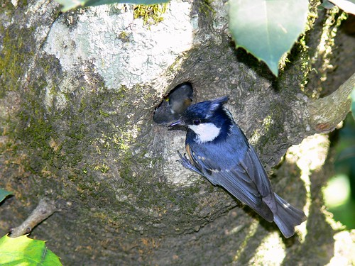 Spot-winged Tit (adult feeding younglings)