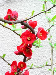 #271 flowering quince () (Nemo's great uncle) Tags: flower geotagged tokyo flora flowering   seta quince floweringquince speciosa  setagayaku tky   choenomeles  choenomelesspeciosa geo:lat=35625583 geo:lon=139623