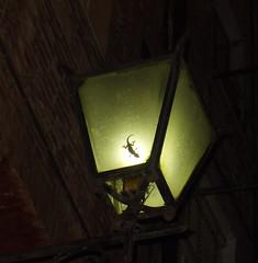 geco in lampada (existenz_in_progress) Tags: cute lamp night siena jeko