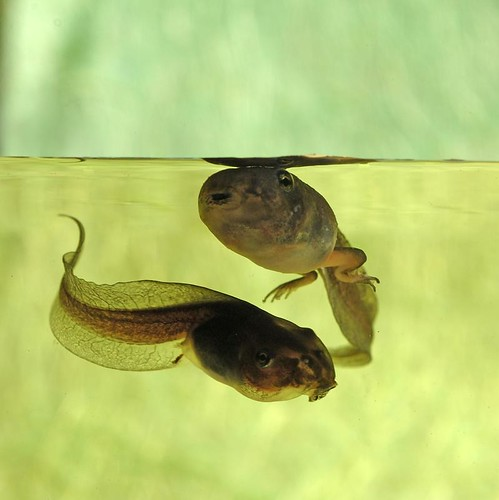Frog and tadpole - photo#3