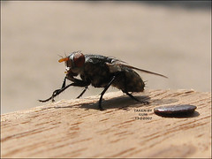 ....    ..    .... ( GUM ) Tags: canon bug gum fly outdoor insects s80 doha qatar