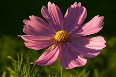 pink cosmo flower at sunset (Vanessa Pike-Russell) Tags: flowers sky sun 3 macro nature beautiful beauty pretty bestof vibrant background australian australia images ev elite nsw mostinteresting portfolio top10 popular fragile coolest 2007 fujifinepix wollongong myfaves 0100 1500s illawarra iso80 f36 62mm s9600 mootrade 20070314 superhearts 173230 vanessapikerussell auselite