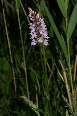 548807291 Common_Spotted_Orchid 2007-06-13_19:23:10 Cothill