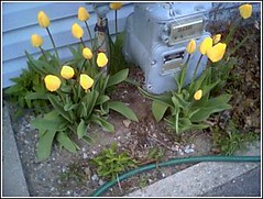 tulips and the gas meter