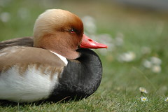 Red-crested Pochard (frielp) Tags: england bird duck nikon d70 surrey claremont pochard 70200mm redcrested