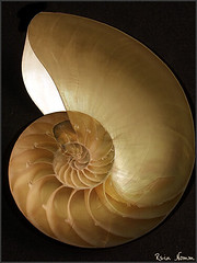 Nautilus Inside & Out (nomm de photo) Tags: stilllife art nature composition doubleexposure shell objects photographs 100views naturalwonders stilllifes nautilus fineartphotography stillphotography reinnomm availableforpurchase topphotoblog availableforlicensing