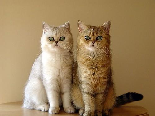 kucing Parsi kembar