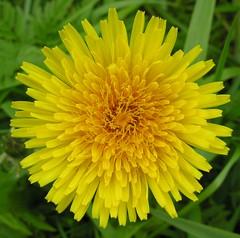 Dandilion (:Linda:) Tags: nature yellow spring weed blossom may dandelion blume wildflower dandilion taraxacum löwenzahn bicolored bird´seyeview wildblume hildburghausen yellowwildflower bürden