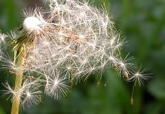 Dandelion Seeds (CaptPiper) Tags: spring dandelion seeds