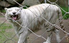 Ahhh chooo... (Ninox) Tags: animals localzoo