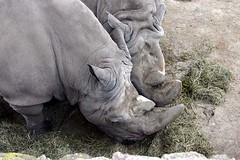 Rhinos Snacking (Ninox) Tags: animals localzoo