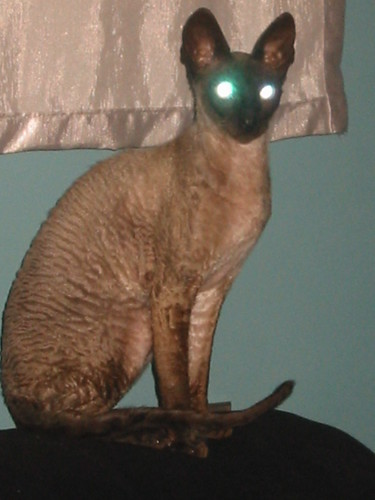 Basil the Rescue Cornish Rex