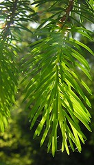 Spruce needles (Gerlinde Hofmann) Tags: tree green texture nature pinetree pine germany spring ast may thuringia cobweb needle twig spinne grün kiefer spruce baum spinnwebe backlighting conifer zweig naturalpattern nadelbaum hildburghausen konifere naturaltexture bürden
