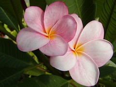Plumeria-my first hybrid (Brujo) Tags: plant pink plumeria yellow green flower apocynaceae
