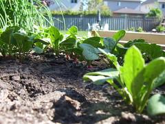 Radishes (Amy_Urquhart) Tags: 2005 bowmanville garden radish