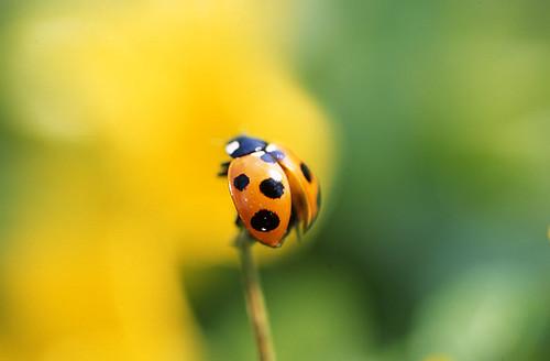 ladybird by nino**