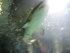 IMG_0692 (David Breyer) Tags: newport aquarium newportaquarium kentucky shark fish animals
