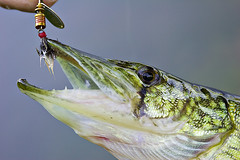 Chain Pickerel (bikeracer) Tags: 15fav fish eye closeup mouth fishing top20animalpix teeth chain scales itsongselection1 caught description released lure detailed freshwater pickerel mepps underwaterwildlife itsongcanoneos300d interestingness425 i500 explore28may05