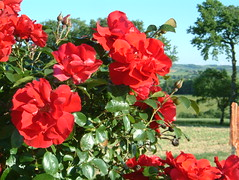 DSCF0010 (owlhere) Tags: france may gers roses 2005