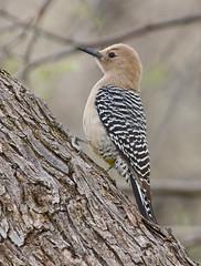 Gila Woodpecker (mhawkins) Tags: gilawoodpecker bird melanerpesuropygialis catalinastatepark female