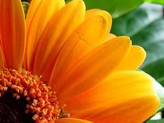Orange Beauty (josef.stuefer) Tags: wallpaper orange flower nature closeup poetry petal explore gerbera josefstuefer