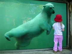 Curiosity (Troy B Thompson) Tags: bear pink red green water girl hat animal ma zoo katrina kid child massachusetts contest interestingness1 topc100 polarbear bathed mass oneyear worcester topv7777 ecotarium topf500 bostoncom tc3behind october2009