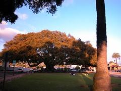 The Fig Tree-Santa Barbara, CA (gailf548) Tags: california tree flickrversary santabarbaracalifornia