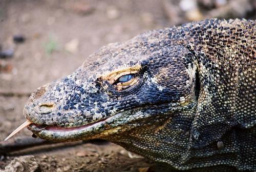 Endangered Komodo waran