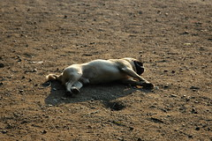 Too Hot To Play (JanickG) Tags: pug resting dogpark 1870mmf3545g