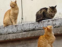 Gregorio, Adolfo y Macedonio (gaviota paseandera) Tags: cats nature animal animals cat kitten g arts gatos des pont gatas pontdesarts