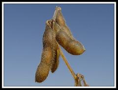 Soybean Sky