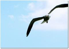 And He Comes ... (.Tatiana.) Tags: blue sky bird topc25 topv111 riodejaneiro seagull gaivota bif itaipu vivaitaipu fotoclube tatinorio siteparavendadefotos httpwwwplanobfotodesigncom fototatianasapateiro