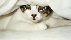 Owen under a Pillow (Annejelynn) Tags: cats cat chats furry kitten feline chat fuzzy kitty kittens gatos gato kitties felines katze kittycats