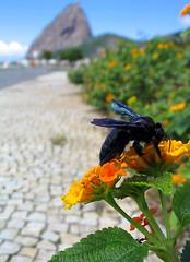 Mamangaba [Bee] (Jim Skea) Tags: brazil brasil riodejaneiro insect savedbythedeletemegroup deleteme10 bee saveme10 inseto sugarloaf podeacar aterrodoflamengo canona70 flamengopark mamangaba bichinho fotolografia jimsk