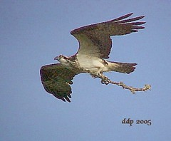 Mrs. Grimsley, the Osprey, Flying in with another Stick for her Nest (Pixel Packing Mama) Tags: bird birds birdsinflight osprey allanimals eaglesbirdsofprey mrsgrimsley oregonwildlife pixelpackingmama dorothydelinaporter birdfanatics uploadedtoflickr2005set pixelpackingmama~prayforkyronhorman oversixmillionaggregateviews over430000photostreamviews