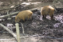 Wild boar piglets (loopy1) Tags: wildwood boar