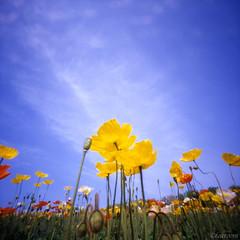 Mind of flowers (tearoom) Tags: flowers flower yellow japan garden bluesky pinhole topv5555 poppy poppies osaka topf100 zero2000 zeroimage pinholeday wppd 1500v60f 1000v40f