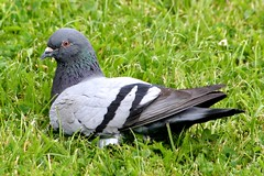 dove (Blackwings) Tags: dove taube animal tier fauna