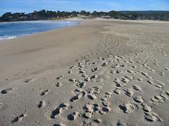 Snowy Plover at Carmel Rivermouth Beach (Dale Hameister) Tags: california bird nature wildlife carmel snowyplover charadriusalexandrinusnivosus dalehameister
