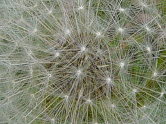 DSC07272 (Faded Photograph) Tags: flowers macro closeup puff seeds end dandelions allergy spores favorited